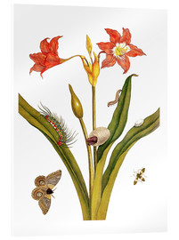 Acrylic print  lily with lepidoptera metamorphosis - Maria Sibylla Merian