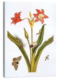 Canvas  lily with lepidoptera metamorphosis - Maria Sibylla Merian