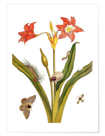 Premium poster  lily with lepidoptera metamorphosis - Maria Sibylla Merian