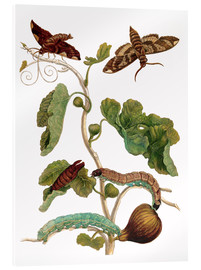 Acrylic print  fig tree with lepidoptera metamorphosis - Maria Sibylla Merian