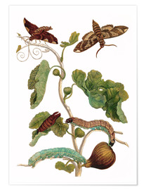 Premium poster fig tree with lepidoptera metamorphosis