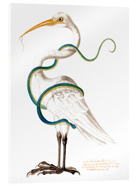 Acrylic print  Heron encircled by a snake, with a worm in his bill - Maria Sibylla Merian