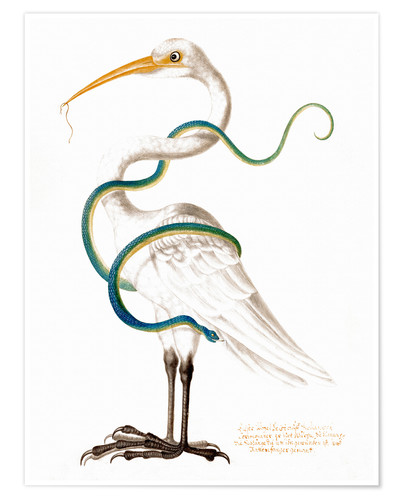 Premium poster Heron encircled by a snake, with a worm in his bill
