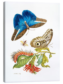Canvas  birdwing - Maria Sibylla Merian