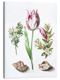 Maria Sibylla Merian - Tulip with two myrtle branches and two shells