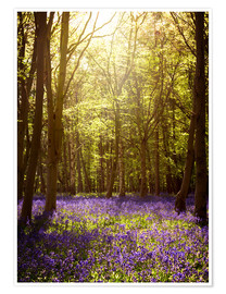 Premium poster Sunny forest with bluebells