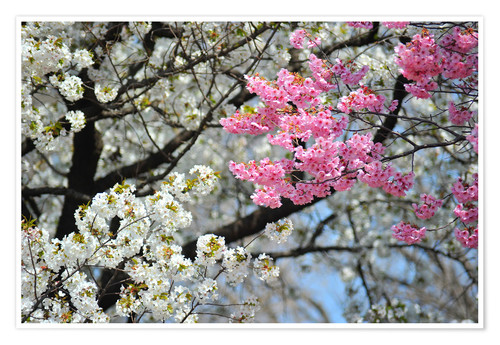 Premium poster White and pink cherry blossoms