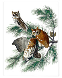Premium poster  Three owls - John James Audubon