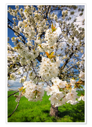 Premium poster Cherry blossoms in spring