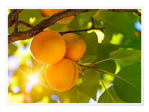 Premium poster Apricot tree with fruits growing in the garden