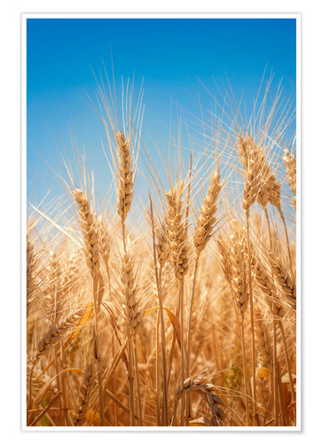 Premium poster Wheat field against the blue sky