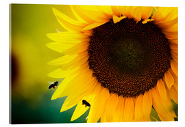 Acrylic print  Two bees in sunflower