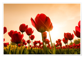 Premium poster  Red poppies
