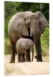 Acrylic print  Mother and calf