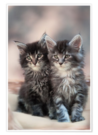 Premium poster Maine Coon Kittens 3
