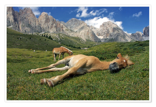 Premium poster Peacefully sleeping Haflinger foal on a mountain meadow