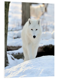 Foam board print  Beautiful white wolf in the winter