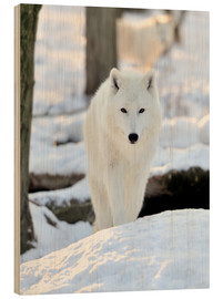 Wood print  Beautiful white wolf in the winter