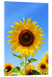 Acrylic print  Radiant Sunflower