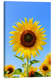 Canvas print  Radiant sunflower