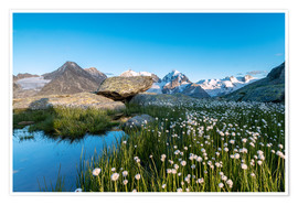 Premium poster Blooming of cotton grass at feet of Piz Bernina, Switzerland