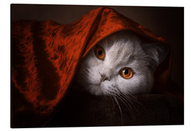 Aluminium print  Little Red Riding Hood? British short-haired cat under red blanket - Janina Bürger