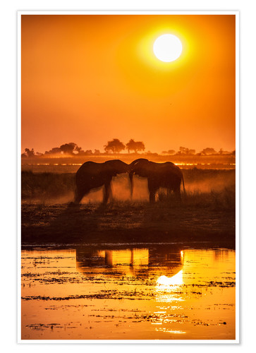 Premium poster Elephants at sunset, Chobe Park,Botswana, Africa