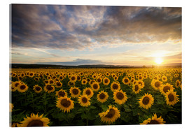 Acrylic print  Sunflower in the summer - Steffen Gierok
