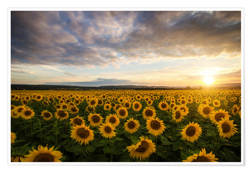 Premium poster Sunflower in the summer