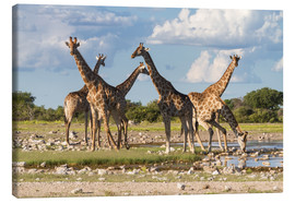 Canvas print  Giraffes at a water hole, Etosha, Namibia - Circumnavigation