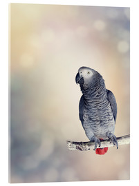 Acrylic print  African Grey on a branch