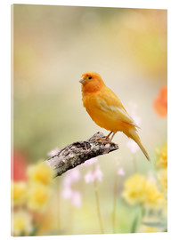 Acrylic print  yellow canary
