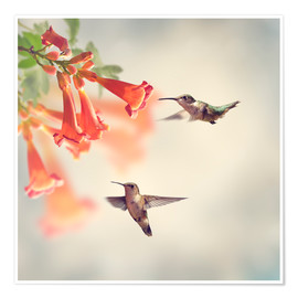 Premium poster  Hovering hummingbirds