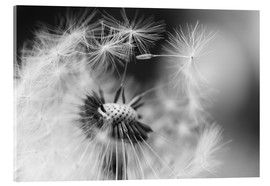 Acrylic print  Flying seeds of the dandelion - Julia Delgado