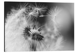 Aluminium print  Flying seeds of the dandelion - Julia Delgado