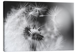 Canvas print  Flying seeds of the dandelion - Julia Delgado