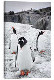 Canvas  Three penguins with rocks in the background