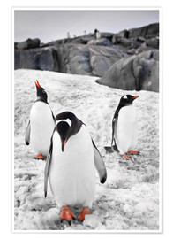 Premium poster Three penguins with rocks in the background