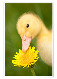 Premium poster Duckling with dandelion
