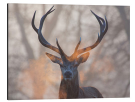 Aluminium print  Stag breath at sunrise, Richmond park - Alex Saberi