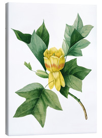 Canvas  tulip tree - Pierre Joseph Redouté