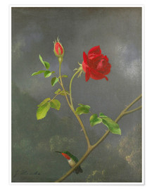 Premium poster  Hummingbird on a rose - Martin Johnson Heade
