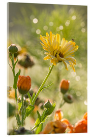 Acrylic print  Yellow and orange flowers in the morning - Edith Albuschat