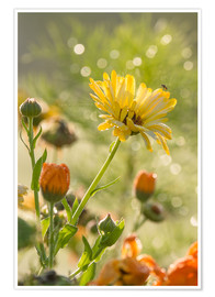 Premium poster Yellow and orange flowers in the morning