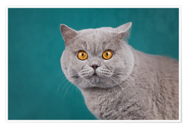 Premium poster Imposing British short-haired cat