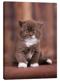 Canvas print  Teddy - British shorthair catbaby - Janina Bürger