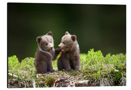 Aluminium print  Two young brown bears
