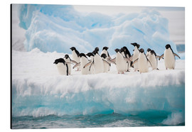 Aluminium print  Adelie penguins on ice