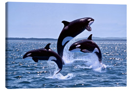 Canvas print  Jumping killer whales - Gérard Lacz