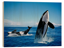 Wood print  Performance of the killer whales - Gérard Lacz